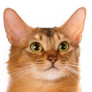 חתול סומלי