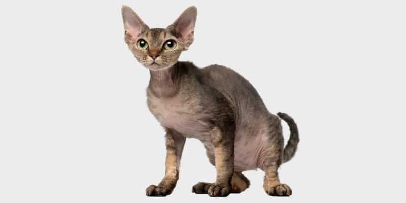 חתול דבון רקס (Devon Rex)