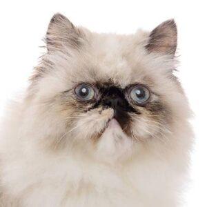 חתול הימלאיה