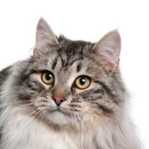 חתול סיבירי