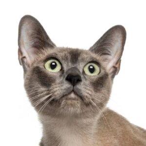 חתול טונקינזי