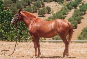 סוס אנדלוסי
