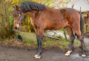 סוס הולנדי חם דם
